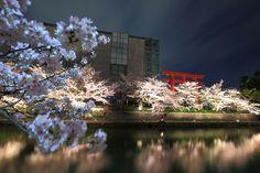 高画質 写真 岡崎疏水 夜桜