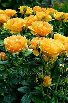 """A cor brilhante e ensolarada das rosas amarelas evocam um sentimento de calor, alegria e felicidade.É por isso que deve caber, em nós, a beleza das rosas de todas as cores. Marilina Baccarat no livro """"A BELEZA DA ʈɦҽ ƥᎧɲɖ ❤ﻸ Exotic Flowers, Amazing Flowers, Beautiful Roses, Beautiful Gardens, Beautiful Flowers, Paradise Garden, Rosa Rose, Home Garden Plants, Good Morning Flowers"""