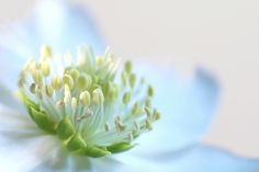 Macro - Flower - Helleborus - White