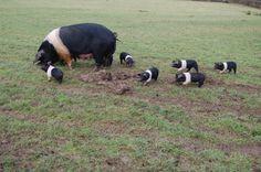 Saddleback Pigs