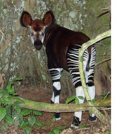 Okapi infant named Karl, by Terese Hart, via Flickr