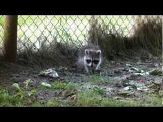 Waschbär-Baby im Garten, Baby-Raccoon in the garden - YouTube