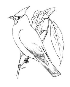 Perched Cedar Waxwing Coloring Page From Blackbird Category Select 25689 Printable Crafts Of Cartoons
