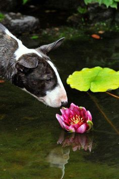 #Bull #Terrier and a flower