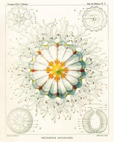 Jellfish - Trachomedsae Illustration by Ernst Haeckel