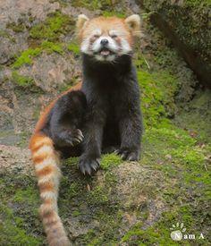にやっ ルンルン #多摩動物公園 #tamazoo #レッサーパンダ #redpanda