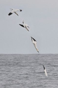 Images by Swanson Media: Gannets | 3 of 5 | Northern Gannet Diving (photo montage)