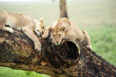 Serengetti National Park- Tree Climbing Lions