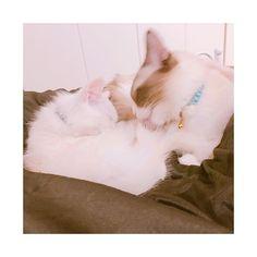 今日も仲良し♡ #ラグドール #ラグドール部 #ラグドールえる #ラグドールエル #ラガマフィン #ラガマフィン部 #ラガマフィンいぶ #ラガマフィンイブ #仔猫 #子猫 #にゃんこ #にゃんこ部 #家猫 #にゃんにゃん #猫 #癒し #ねこスタグラム #cat #ragdoll  #ragamuffin #えるちゃん #えるにゃん #猫様 #愛猫 #猫好き #ねこさま #ねこ #多頭飼い #白猫 #しろねこ