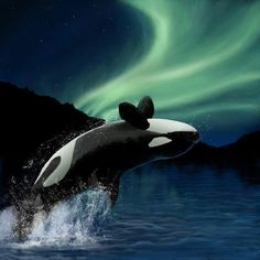 Orca under the northern lights.