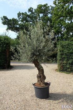 Olive Tree, Large Specimen, Ancient Olea europaea, Gnarled Stem Stunning Example