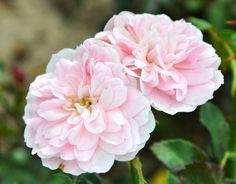 Sommerwind (Palatine Roses)