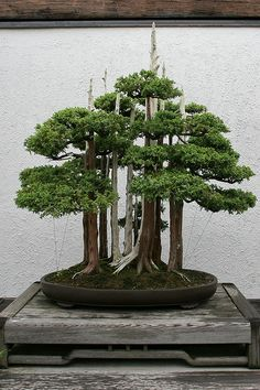 he word bonsai is most closely associated by most with the growing of miniature trees, and although this is somewhat accurate, there is a lot more to it than that. A bonsai is not a genetically overshadowed plant Bonsai, Japanese Garden, Bonsai Forest, Plants, Planting Flowers, Garden Plants, Flowers, Miniature Trees, Trees To Plant