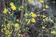 Bohaté kvitnutie jazmínu o rok Plants, Plant, Planets