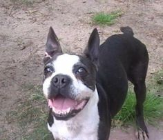 02/14/14 WATSON  Boston Terrier • Adult • Male • Medium  Boston Terrier Rescue of Greater Houston, Inc. The Woodlands, TX