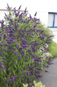 Blue Chip Butterfly Bush