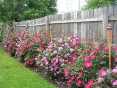 Backyard? knockout roses along fence - one day, when it is not 110 degrees, mine will look like this.