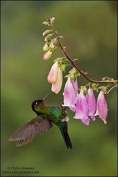 Fiery-throated Hummingbird   Flickr - Photo Sharing!