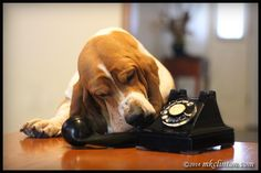 """Can you hear me now?"" Telephone Dog by http://www.mkclinton.com #bassethounds #dogs #doghumor #telephone"