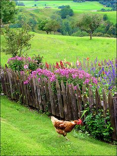 chicken in the country...
