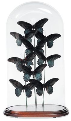 Domed Butterfly Specimens in the Victorian Style