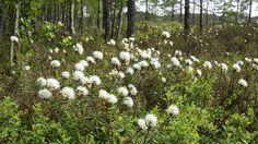 Suopursu | Ledum palustre | Marsh tea Forest Flowers, Wild Flowers, Art Background, Botanical Prints, Botany, Natural Beauty, Flora, Scenery, World