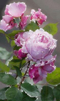 Love Rose Flower, Beautiful Rose Flowers, Beautiful Gif, Exotic Flowers, Amazing Flowers, Beautiful Flower Drawings, Beautiful Flowers Wallpapers, Flowers Gif, Glitter Flowers