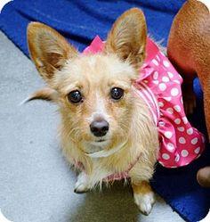 San Jacinto, CA - Chihuahua Mix. Meet Chi female X a Dog for Adoption.