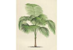 South American Palm Tree, 1878