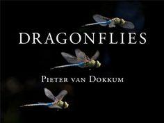 Dragonflies: magnificent creatures of water, air, and land / Pieter van Dokkum.