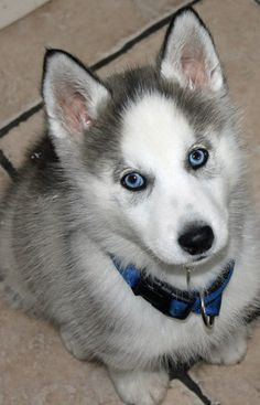 Ashira the Siberian Husky | Puppies | Daily Puppy