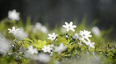 "leroy-planting-stuff: "" Wood Anemones - Anemone Nemorosa """