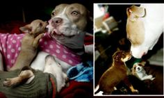 How abandoned pit bull Bella has become a devoted foster mom http://dailym.ai/1mJZaCb