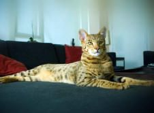 LIFESTYLE PETS...Hypoallergenic Cats!! This is the Ashera GD. I want it! But it cost $27,000!!! :-(