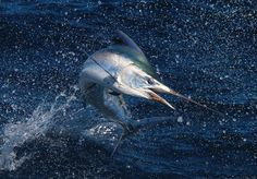 Jumping black marlin caught saltwater fishing northeastern Australia