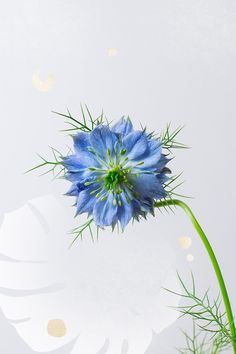 """There is a wonderfully water-like quality to the nigella, also known as """"Love in a Mist."""" Its flowers are surrounded by a collar of oh so delicately threaded pinnate leaves to create a dreamlike, misty haze about this garden favorite. Nigella is said to represent intrigue, which only compounds the allure of its physical characteristics."""