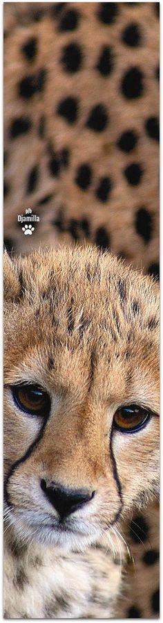 Cheetah cub close up #BigCatFamily