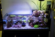 Wawawang's 40 gallon shallow coral reef with open air plants - June 2015 Featured Reef Aquarium Saltwater Tank, Saltwater Aquarium, Aquarium Fish, Nano Reef Tank, Reef Tanks, Coral Reef Aquarium, Marine Aquarium, Aquarium Design, Aquarium Ideas