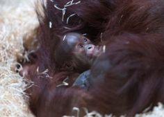Endangered orangutan born at Twycross Zoo | Discover Animals