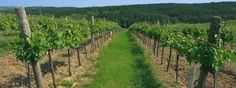 Grüner Veltliner is Austria's most popular white wine. It's dry wine that has recently grown popular in the United States. Learn about Grüner Veltliner.