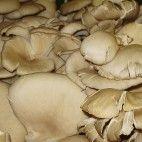 Paprikáš z hlivy ústricovej Stuffed Mushrooms, Vegetables, Food, Red Peppers, Stuff Mushrooms, Essen, Vegetable Recipes, Meals, Yemek