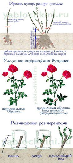 выращиваем розы     цветы   Постила
