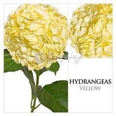 Painted yellow hydrangeas, use it for vintage wedding flower decorations Vintage Wedding Flowers, Wedding Flower Decorations, Rustic Wedding, Hydrangeas, Wedding Inspiration, Fresh, Hydrangea Macrophylla