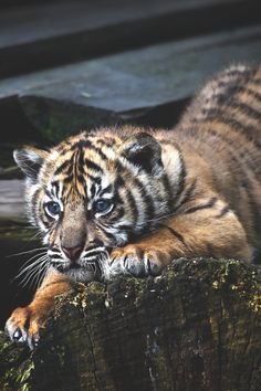 Young Tiger cub                                                                                                                                                     More