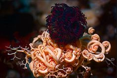 Feather Duster Worm (Eudistylia vancouveri) entangled in Basket Star (Gorgonocephalus eucnemis)