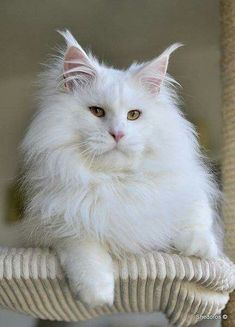 Maine Coon. http://www.mainecoonguide.com/where-to-find-free-maine-coon-kittens/