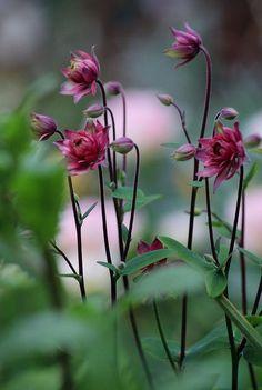 Ancolie clémentine rose