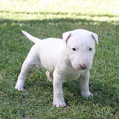 Bull terrier-cachorros-bull-terrier.jpg