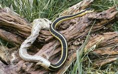 This garter snake is shedding its skin so it can grow. Small snakes' shed skin is inside-out and in one piece. Reptiles And Amphibians, Mammals, Snake Shedding, Beautiful Snakes, Serpent, Snake Tattoo, New Skin, Zoology, Exotic Pets