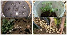 Como Plantar Batata em Casa